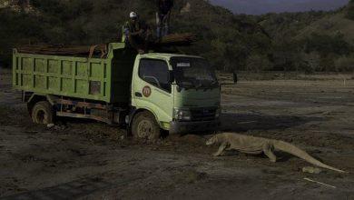 Photo of 印尼興建「侏羅紀公園」 科莫多龍阻擋工程車遭瘋傳